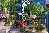 Flowered balcony : Azalea (Rhododendron sp), Abutilon (Abutilon sp), Begonia (Begonia sp), Pelargonium (Pelargonium sp), Grévillea (Grevillea juniperina), Agapanthe (Agapanthus sp), Marguerite (Argyranthemum sp), Pansy (Viola sp) in spring