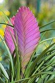 Pink Quill (Tillandsia cyanea) inflorescence