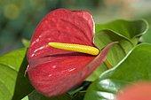 Anthurium (Anthurium sp)