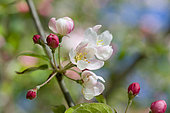 Ornamental apple tree (Malus sp) 'Professor Sprenger', flowers in spring
