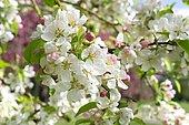 Flowering apple tree (Malus pumila) 'Evereste', flowers in spring