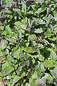 Mint (Mentha sp) 'Bergamote'