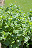 Mint (Mentha sp) 'Kreno'