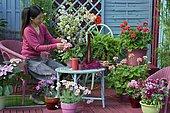 Woman on flowered terrace: Geranium (Pelargonium sp), Wallflower (Cheiranthus sp), Anthemis (Argyranthemum sp), Primrose (Primula sp) in pots