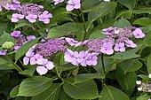 Hydrangea (Hydrangea serrata) 'Klaveren', deciduous shrub, flowering June - August