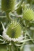 Eryngo (Eryngium sp) inflorescence