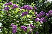 Hydrangea 'Vespa' in bloom in a garden