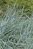 Sand Ryegrass (Leymus arenarius) 'Glaucus'