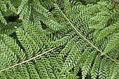 Soft shield fern (Polystichum setiferum) leaves