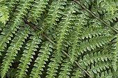 Korean tasselfern (Polystichum polyblepharum) leaves