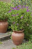 Hooded-leaf pelargonium 'Flore pleno' in bloom in a garden