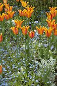 Association of Tulip (Tulipa sp) and Forget-me-not (Myosotis sp) in spring