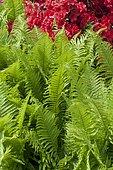 Black wood fern (Dryopteris cycadina or Dryopteris atrata)