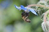 Abeille à miel (Apis millifera) sur une fleur de Bourrache officinale (Borago officinalis)