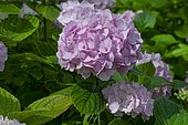Hydrangea (Hydrangea serrata) 'Diadem' in bloom