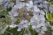 Hydrangea (Hydrangea macrophyla) 'Tricolor' in bloom