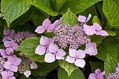 Hydrangea (Hydrangea sp) in bloom