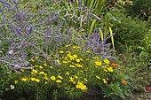 Massive of perennials and summer annuals: Creeping Charlie (Nepeta sp), Phormium (Phormium sp), Marigold (Tagetes sp), Thread-leaf Coreopsis (Coreopsis verticillata)