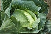 Headed cabbage (Brassica oleracea capitata)