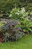 Castorbean (Ricinus communis) and Tobacco (Nicotiana sp)