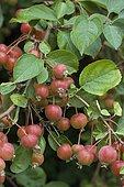 Decorative apple (Malus sp) 'Cowichan', fruits