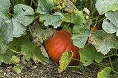 Pumpkin 'Rouge d'Etampes' (Cucurbita maxima)