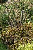 Coleus (Solenostemon sp), New zealand flax (Phormium tenax) 'Rose', Sage (Salvia sp)