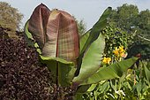 Banana tree (Musa sp) in a flower bed