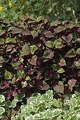 Wild Perilla (Perilla frutescens) 'Maguilla' leaf