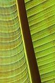 Banana tree (Musa sp) leaf detail