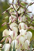 Yucca (Yucca sp) flwoers in autumn