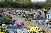 Chrysanthemum (Chrysanthemum sp) in flower, Cemetery in bloom at All Saints' Day.
