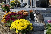 Cat and Chrysanthemum (Chrysanthemum sp) in flower, Cemetery in bloom at All Saints' Day.
