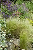 Rock garden with Sage ), Rose campion () and Feather grass (Stipa tenuifoliaifolia) mixed.