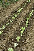 Salad seedlings (Lactuca sativa)