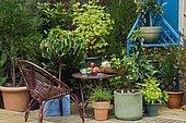 Potées d'arbres fruitiers nains sur terrasse. Pêcher (Prunus persica), Cerisier (Prunus cerasus), Groseillier à grappes (Ribes rubrum)