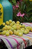 Plum (Prunus domestica) 'Mirabelle de Nancy'