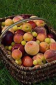 Abricot (Prunus armeniaca), Nectarine (Prunus persica), Pêche (Prunus persica), Prune 'Mirabelle de Nancy' (Prunus domestica) dans un panier