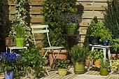 "Pot of aromatic plants on terrace. Celery (Apium graveolens), Sage (Salvia sp), Lavender (Lavandula sp), Parsley (Petroselinum crispum), Mint (Mentha sp), Basil (Ocimum basilicum), Tarragon (Artemisia dracunculus), Chives (Allium shoenoprasum), Rosemary (Rosmarinus sp), ""Villaverde 89""."