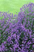 Fine Lavender (Lavandula angustifolia) in bloom