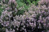 Thyme (Thymus vulgaris) in bloom