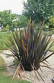 New zealand flax (Phormium tenax) 'Purpureum'