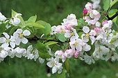Crabapple 'Evereste' (Malus sp) in bloom in spring