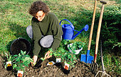 Perennial planting: Adding compost around the root ball. Spring
