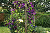 Pergola with Clematis (Clematis sp) 'Jackmanii' and Rose (Rosa sp) 'Golden Showers', Château de Touffou, Vienne, France, AE