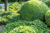 Boxwood (Buxus sp) cut into a ball and Ivy (Hedera helix) as a ground cover in Spring