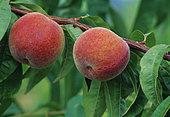 Pêche 'J.H. Hale' (Prunus persica). Fruits sur l'arbre