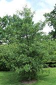 European alder (Alnus glutinosa) 'Imperialis'