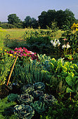 Flowered vegetable garden with Cabbage, Chard and Welsh onion.