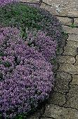 Thyme (Thymus vulgaris) 'Aurea'.